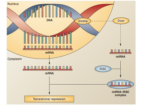 Diagram of miRNA-mediated epigenetic change. miRNAs bind to mRNAs and prevent their translation into proteins. Reprinted by permission from Macmillan Publishers Ltd.: <em>Nat. Rev. Neurol</em>. 9, 35–43, copyright 2013.