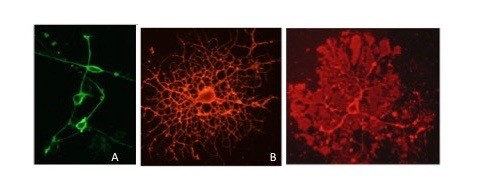 Myelin-making cells in culture