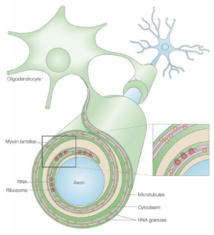 Fig. 1. Oligodendrocytes wrap axons with myelin. Supporting cells called oligodendrocytes wrap extensions of their membranes around the axons of neurons, providing an insulating layer of myelin.
