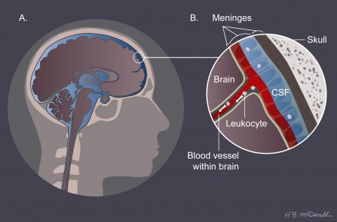 Fig. 2. The back door. The brain (A) is surrounded by three protective layers collectively called the meninges (B). Cerebrospinal fluid in the meninges helps cushion the organ. Leukocytes may egress from blood vessels within the meninges and then crawl down along the tissue-facing (abluminal) side of the vessels into the brain tissue (B).