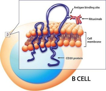 Rituximab targets B cells. The engineered monoclonal antibody, rituximab, latches onto the surface protein, CD20, and depletes B cells from the bloodstream.