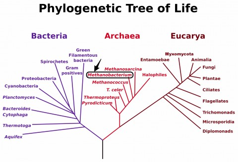 Methanobrevibacteriaceae are members of the Kingdom Archaea.