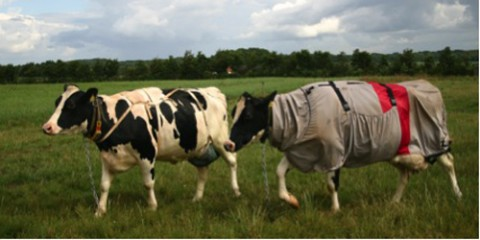 Danish dairy cows fitted with udder cover only (left) or a UV-resistant horse blanket only (right). Photo courtesy of Information Officer Janne Hansen, Aarhus University, Faculty of Agricultural Sciences, Tjele, Denmark.
